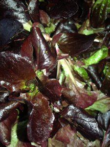 Roter Feldsalat