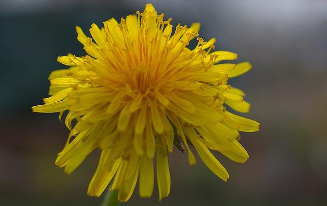 Löwenzahnblüten-Honig